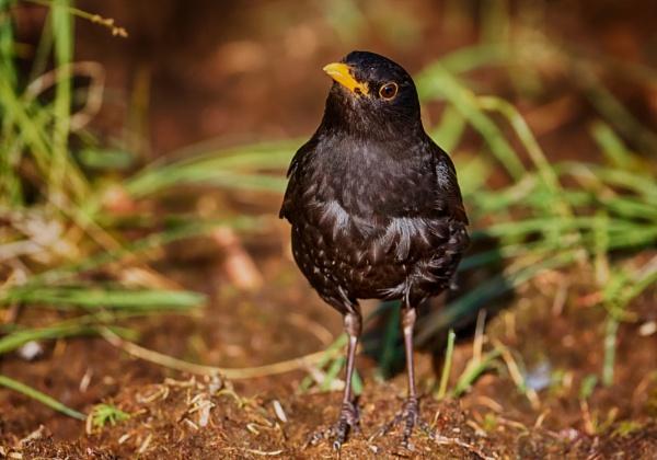 Blackbird by hannukon