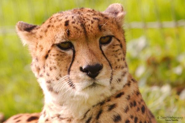 cheetah by DaveNewbury