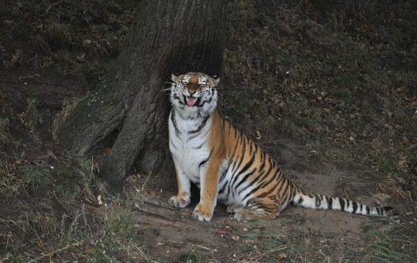 Smiling Tiger by jerseygirl65