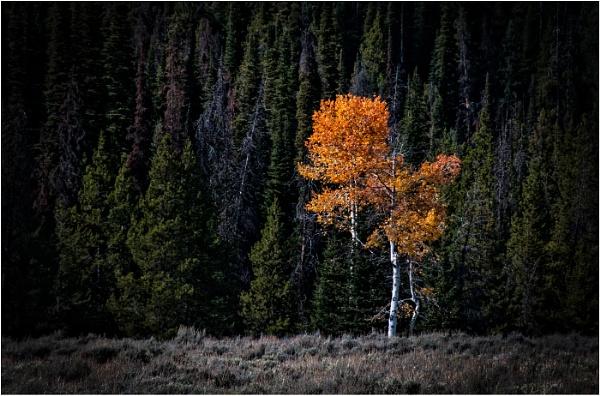 Aspen Tree by dven
