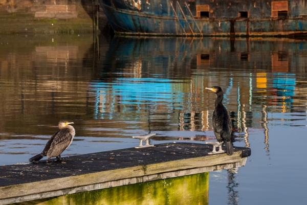 Cormorants by Sue_R