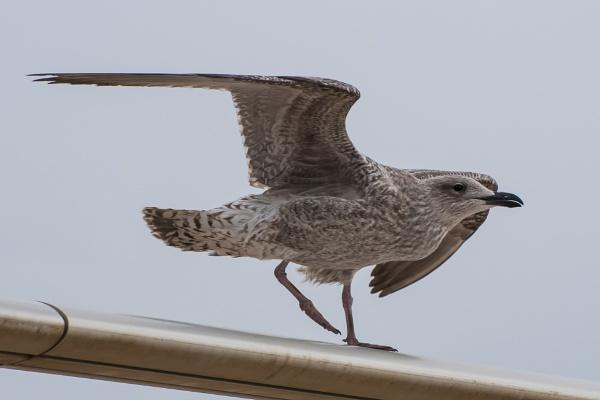 Blackpool Gull by chensuriashi