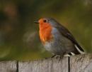 Robin by viscostatic