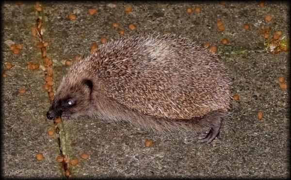 Stocking up for winter - hedgehog by HobbitDave