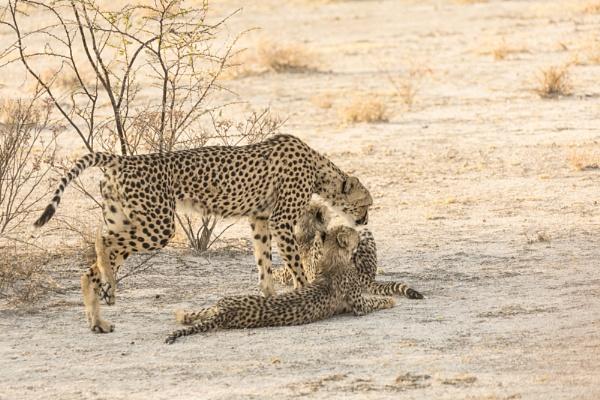 Cheetahs by rontear