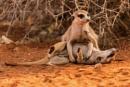 Meercat quarrel by rontear