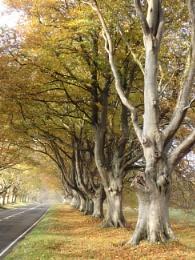 The Giant Beech Trees at Badbury Avenue, Dorset