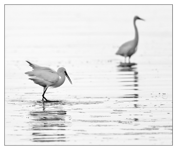 A pair of Egrets by mjparmy