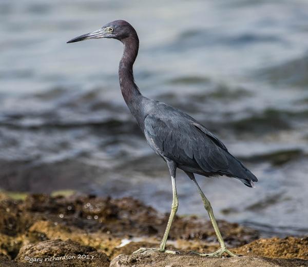 little blue heron by djgaryrichardson
