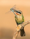 Scruffy White-fronted Bee-eater with Dragonfly by Jamie_MacArthur