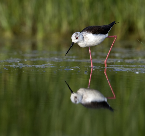 Black-Winged Stilt by hasslebladuk