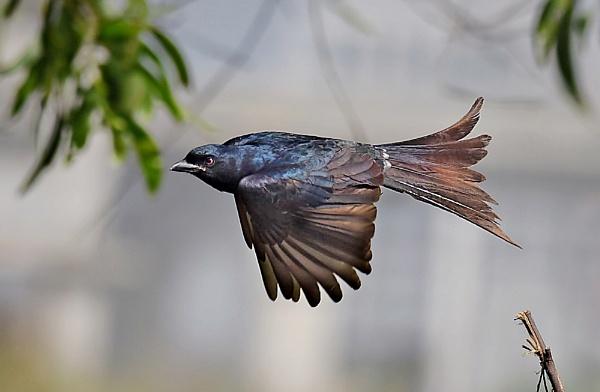 Black drongo by Shibram
