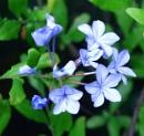 Plumbago  - the last bloom by JuBarney