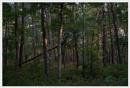 The  Scrub Oaks of Cape Cod by notsuigeneris