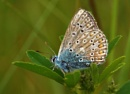 Butterfly Common Blue. by georgiepoolie