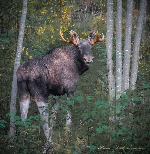 Elk. by kuvailija