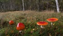 Fly Agaric by Trevhas