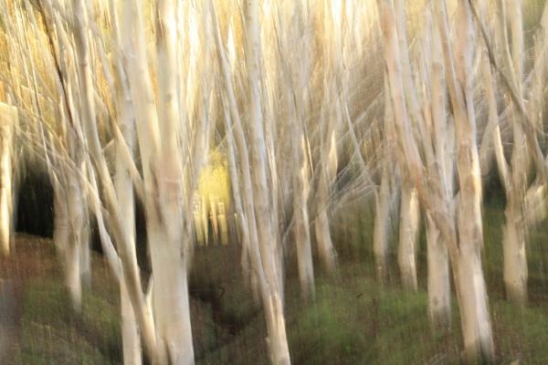 White Birch,Golden Light by Fernowl