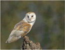Barn Owl by ade123