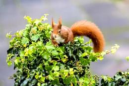 Speedy red squirrel