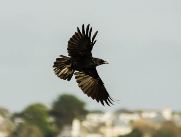 Sunlit Blackbird by Madoldie