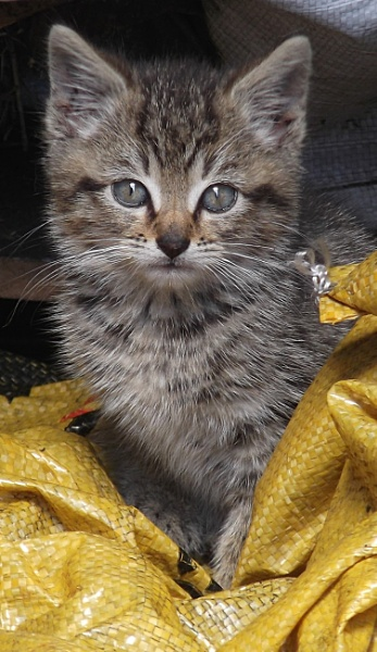 Mackerel tabby kitten stray 1