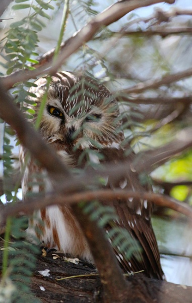 Northern Saw-whet owl by AudiusLoudus