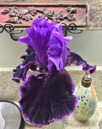Unfurled Violet Iris 11/2017