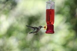 Last summer's hummingbird