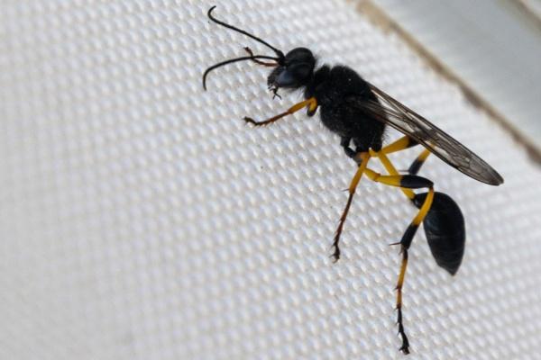 Hornet by geoffgt