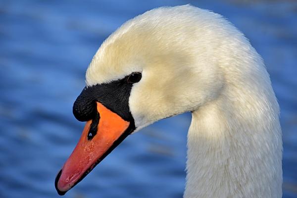 Swan by Danielle1487