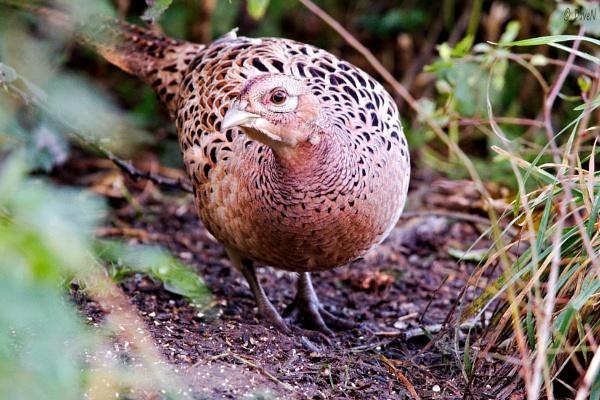 Hen Pheasant by DaveNewbury