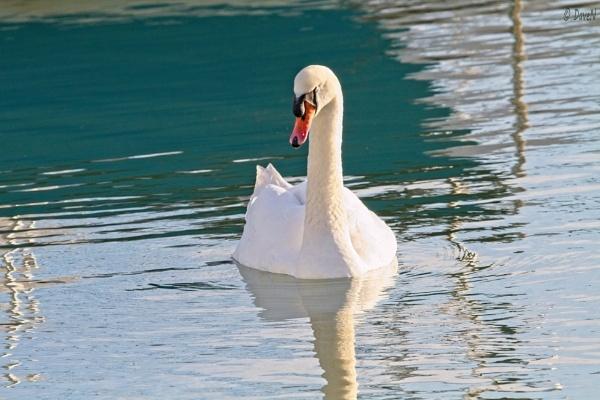 Mute Swan by DaveNewbury