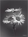 Marguerites by Big_Beavis