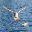 Black Headed Gull by cattyal