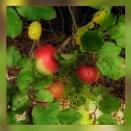 Wild Apples by Joline