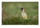 The Green Woodpecker by running_man