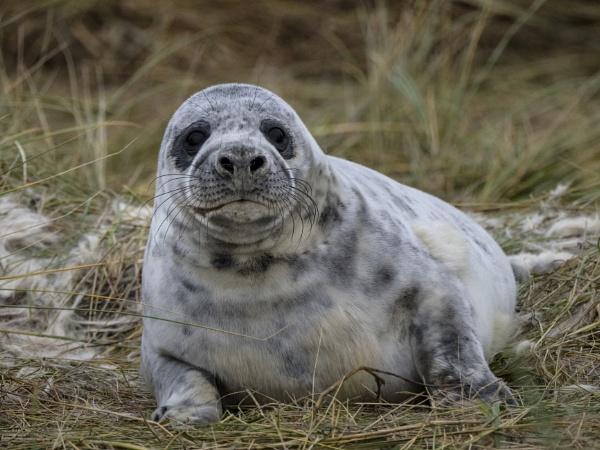 Grey Seal by limmy62