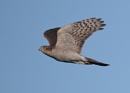 Sparrowhawk Flypast by NeilSchofield