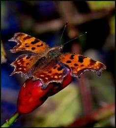 Comma Butterfly.