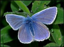 Common Blue(m)-Basking.