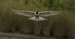 Photo : Common Tern