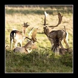 Deers at Charlecote Park