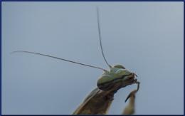 praying mantis  head image