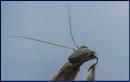praying mantis  head image by ugly