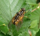 ***Hoverflies*** by HobbitDave