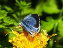 Holly Blue on Dandelion by HobbitDave