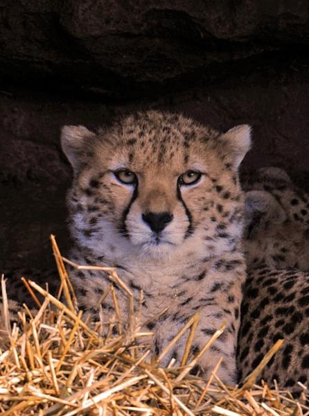 Cheetah Cub by peterthowe