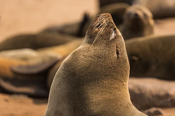 Cape Fur Seal Bull by rontear