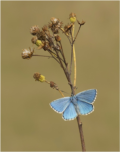 Adonis Blue. by NigelKiteley